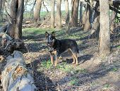 foto of heeler  - Blue heeler dog in a spring forest - JPG