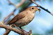 image of nightingale  - Luscinia luscinia - JPG