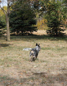 picture of heeler  - Blue heeler dog running away on a farm in the fall - JPG