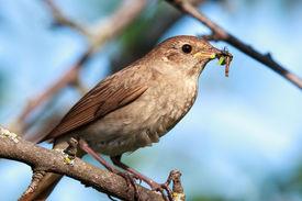 stock photo of nightingale  - Luscinia luscinia - JPG