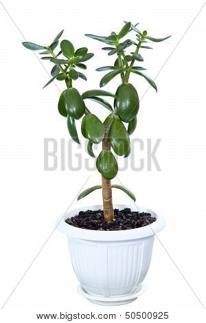 Crassula The House Plant In A Flowerpot (monetary Tree), Is Isolated On A White Background