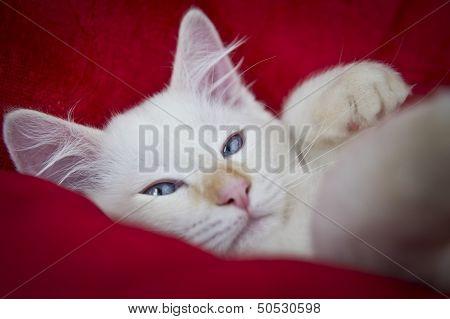 Sleepy Ragdoll Cat