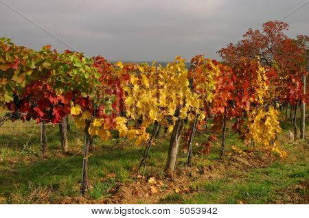 Colorful Grapevines In Fall