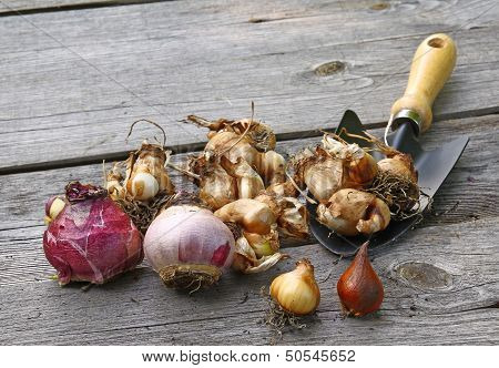 Flower Bulbs (tulips, Daffodils, Miscarry) And Shovel On The Wooden Table.