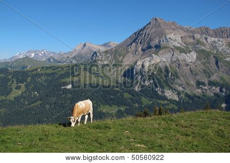 Grazing Simmental Cow