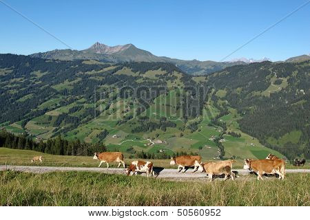 Simmental Cows On A Farm