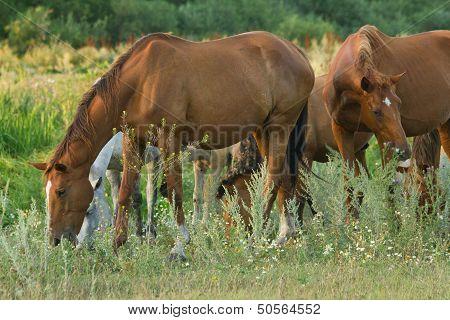 Many Horses On Meadow