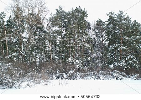 Pine Trees At Winter