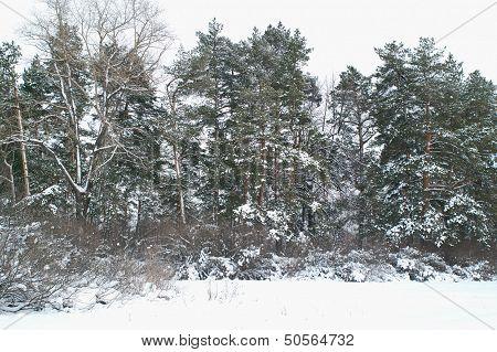 Pine Trees At Winter