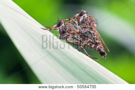Mating Asilidae