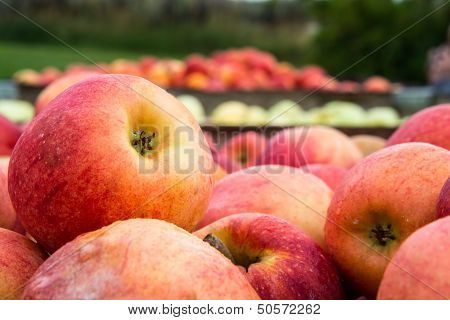 Freshly Picked Apples