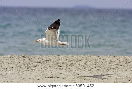 Larus fuscus, marinus flies above a beach.