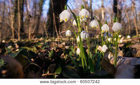 Heralds of Spring