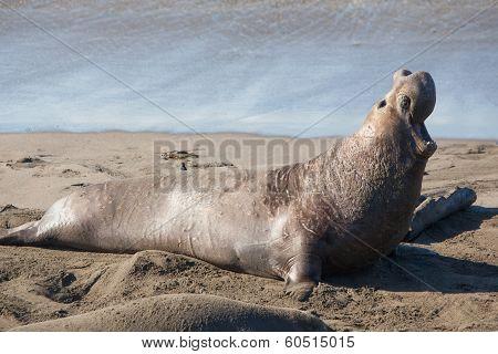 Seal on Sand