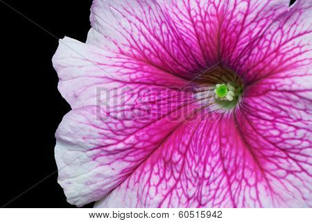 Violet Petunia close up on black background