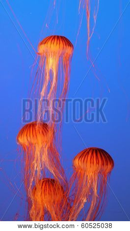 Dark-blue water in the aquarium beautifully highlighted. Four small picturesque orange-red jellyfish floating gracefully
