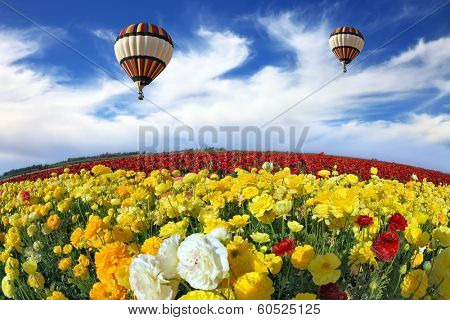 Beautiful spring weather, two beautiful big balloons flying over the field. The huge field of white, red and yellow buttercups (Ranunculus asiaticus). The picture was taken Fisheye lens