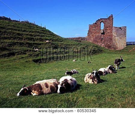 Castle ruins and sheep, Tutbury, UK.