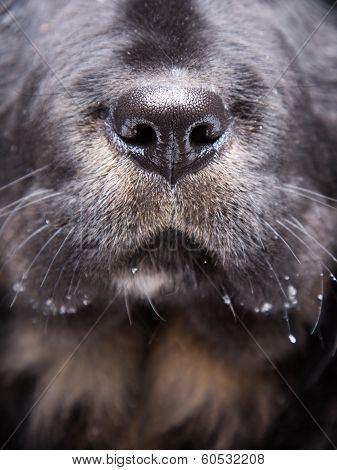 Cute Nose Of Black Labrador Retriever Dog