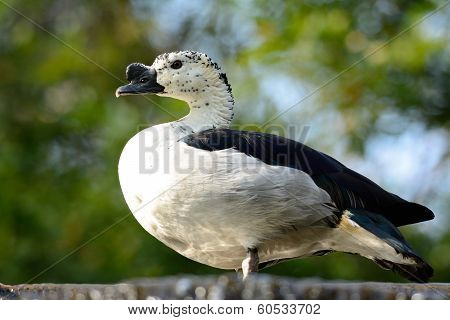 Male Comb Duck (sarkidiornis Melanotos)