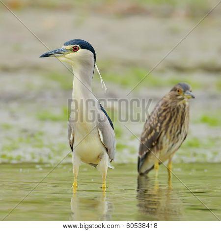 grey heron in natural habitat (ardea cinerea)