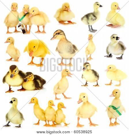 Little ducklings isolated on white