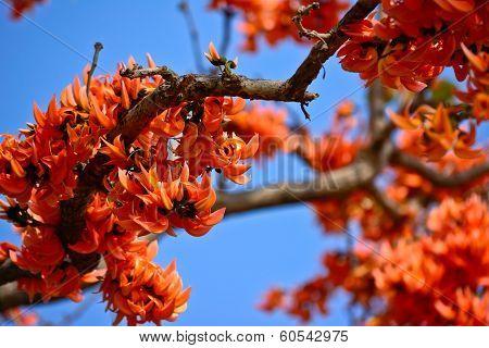 Close-up Bastard Teak Flower In Summer