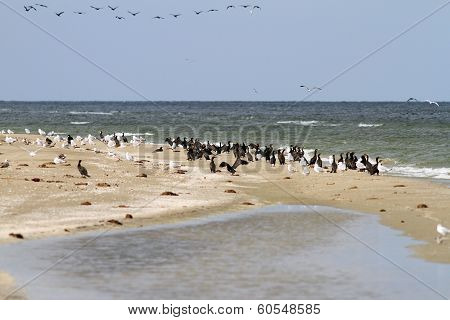 Cormorant Colony On The Beach