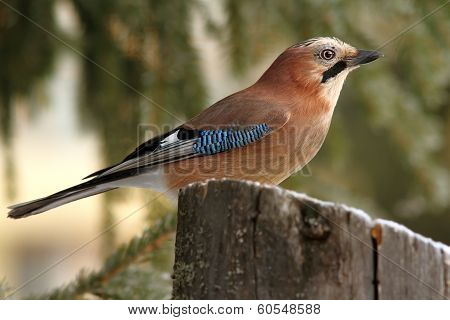 Eurasian Jay Profile In The Forest