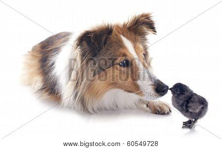 Shetland Dog And Chick
