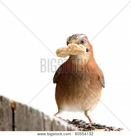Isolated Jay With Bread In Beak