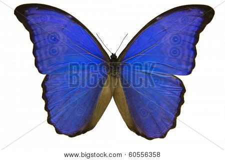 Blue Butterfly on white