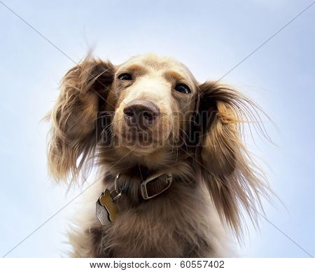miniature long haired dachshund with blue sky