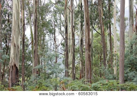 Eucalyptus Forest High Country, Victoria, Australia 2