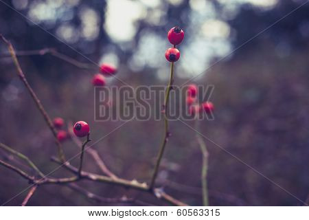 Rosehip Growing On Bush In The Winter