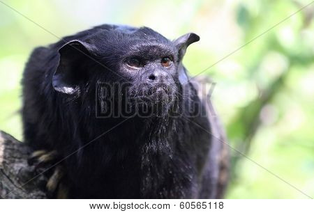 Portrait view of a Red-handed monkey Tamarin