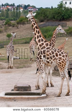 Rothschild Giraffes (giraffa Camelopardalis Rothschildi) In The Zoo
