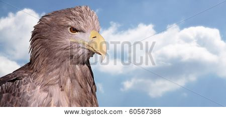 Close-up view of a White-tailed Eagle with copy space 03