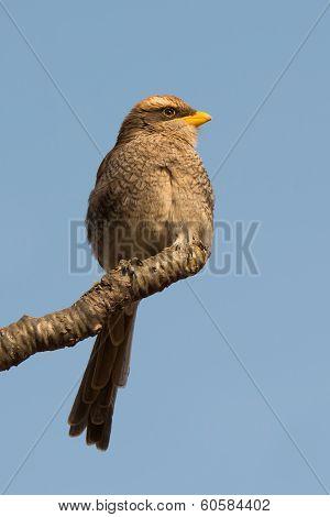 Yellow-billed Shrike Looking Puffy