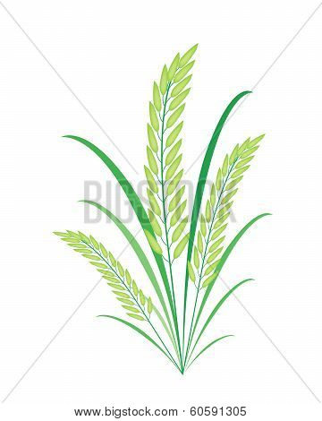 Cereal Plants Or Green Rice On White Background