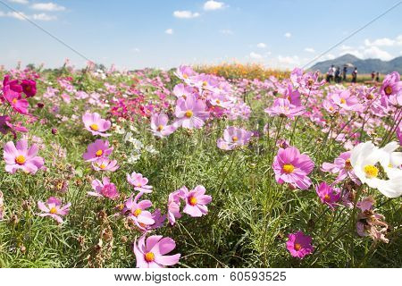 Pink Cosmos Field
