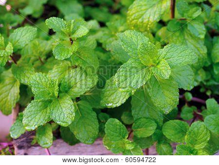 fresh green mint ~ spearmint peppermint ~ herb garden