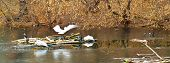 foto of oddities  - pelicans ducks and crows on lake ice - JPG