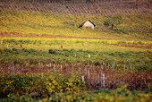 Autumn Vineyards In Savoy, France