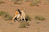 foto of jackal  - One Black backed jackal play with large feather in a dry desert having fun - JPG