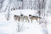 stock photo of wolf-dog  - Wolf pack in a norwegian winter forest. Snowing.