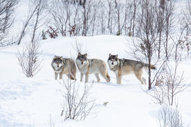 pic of white wolf  - Wolf pack in a norwegian winter forest. Snowing.
