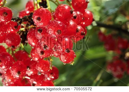 red currant branch with water drops