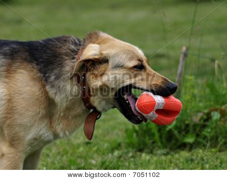 Dog With Toy Rugby Ball