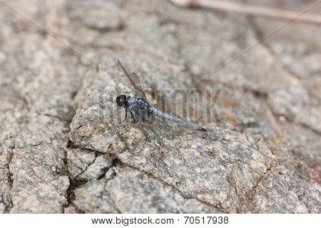 Spangled Skimmer Dragonfly On Stone.